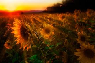 Sonnenblumen-im-Sonnenuntergang